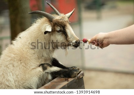Goat eating vegetables in zoo.  #1393914698