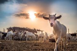 Goat farm in the desert of Saudi Arabia