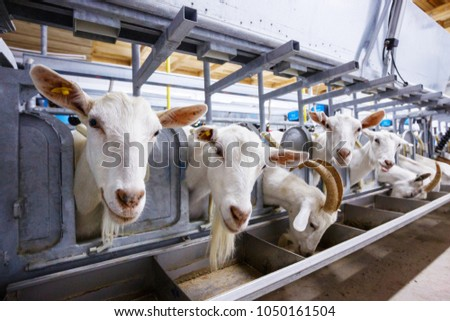 goat farm milking machine #1050161504