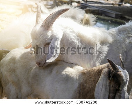 goat, focus head and body blur. #538741288