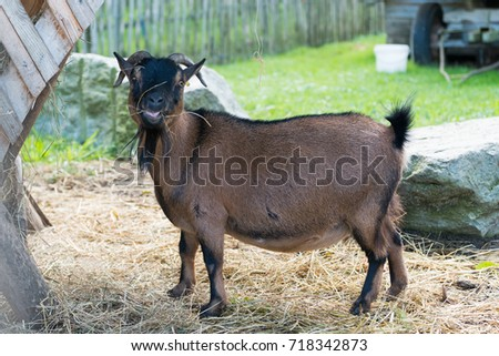 goat, goat at the zoo. #718342873