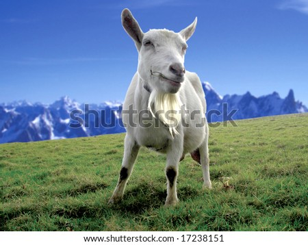 goat grazing in a field on a mountain