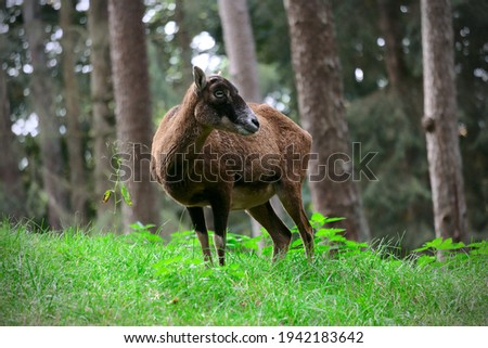 Goat in a Forest in frot of trees Foto stock ©
