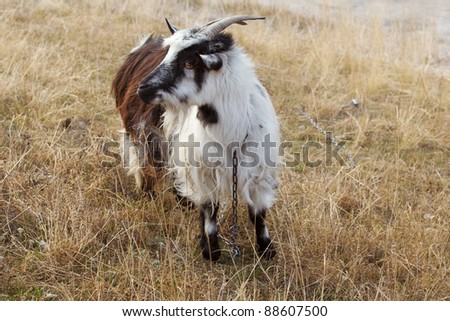 goat in autumn field