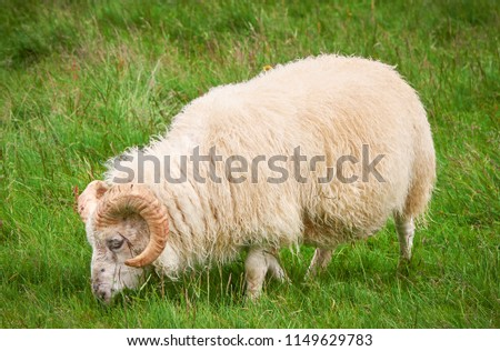 Goat in field, free isolated. Steep goats. Goats eating grass, Goat on a pasture, Little goat portrait, Goat and green grass, Cattle free