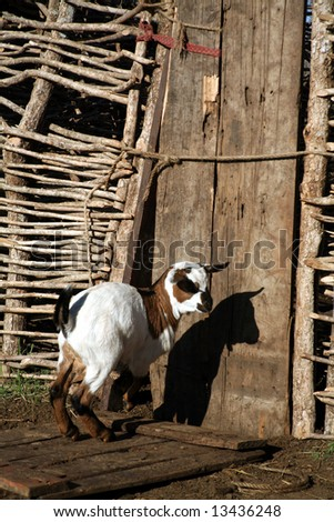 Goat in front of a gate in a Masai village (Kenya)