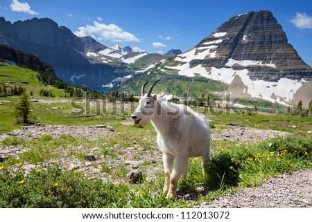 goat in Glacier National Park,USA #112013072