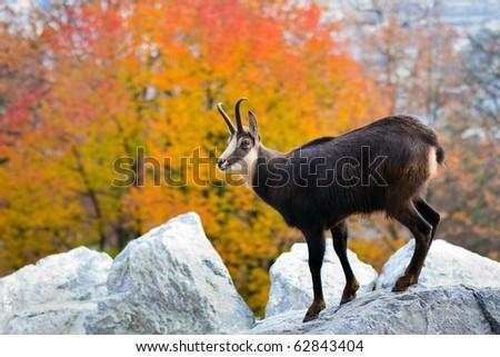 Goat in the Austrian Alps