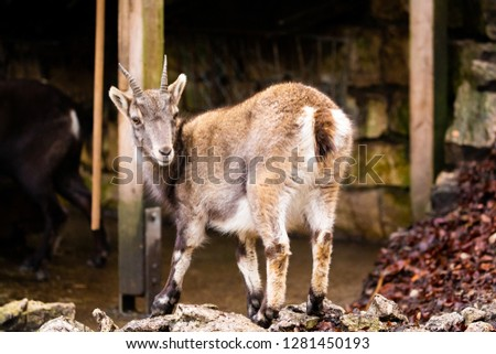 Goat Isolated Nature Picture Sweet Posing Cute Animal Wildlife Forest