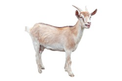 Goat isolated on a white background. Farm animal.