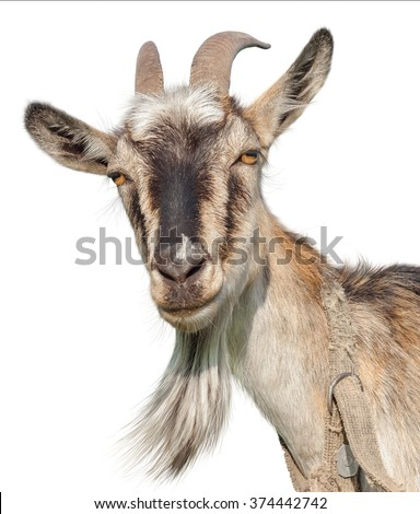 Goat isolated on a white background. Transparent PNG file available