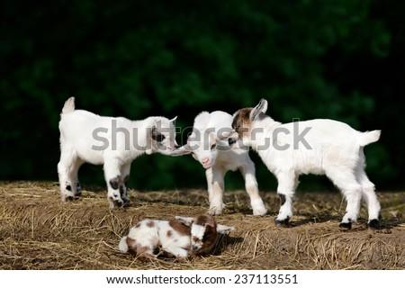 Goat kids #237113551