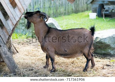 goat, kids zoo #717361906