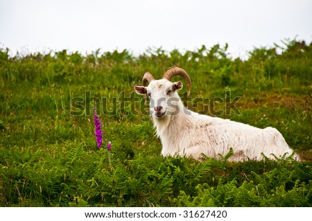 Goat looking at at plant in field