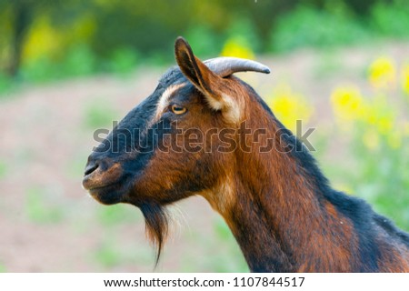 Goat looks at us