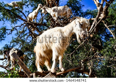 goat on a farm, beautiful photo digital picture