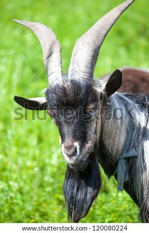 Goat on a farmyard