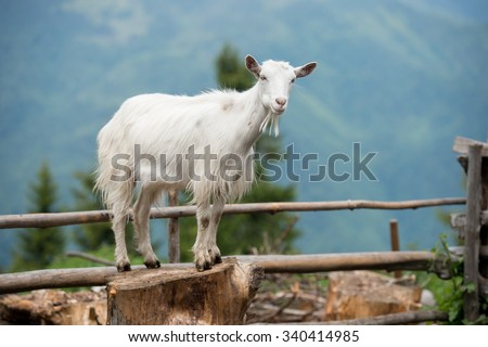 Goat on a pasture in Carpathians