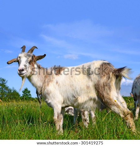 Goat on a summer pasture #301419275