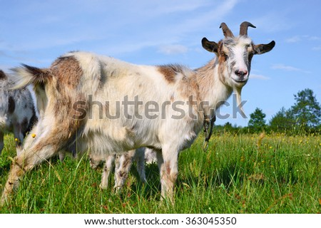 Goat on a summer pasture #363045350