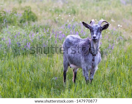 goat on green meadow in summer time