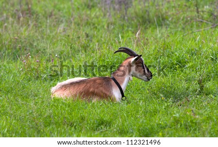 goat on green meadow pasture