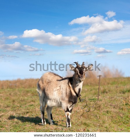 goat on meadow in nice day