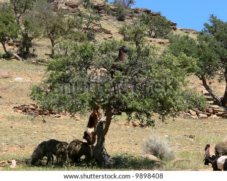 Goat on the argan tree in Morocco