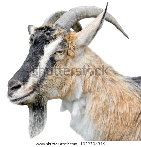 Goat portrait close up. Beautiful, cute, young brown goat isolated on white background. Farm animals. Funny goat head with long horns isolated on white #1059706316