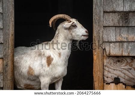 Goat Portrait, Farm Institute, Edgartown, MA, Martha's Vineyard Photo stock ©