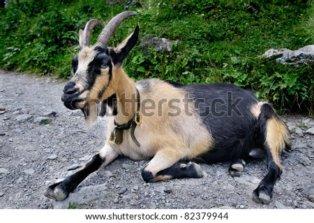 Goat resting on the road and looking around