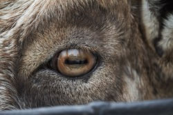 Goat's eye and face macro close up