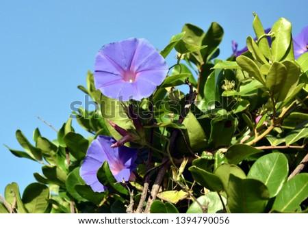 Goat's Foot Creeper flowers or Seaside Morning Glory flowers. (Scientific Name: Ipomoea Pes-caprae) Light purple-flowering ornamental. Blooming Morning Glory flowers on the beach.