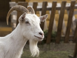 goat`s head