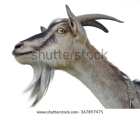 Goat's head isolated on white background