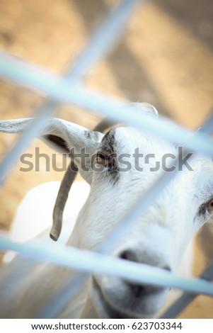 Goat,scapegoat #623703344