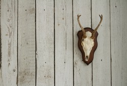 Goat scull with horns hanging on white wooden wall as a hunters trophy