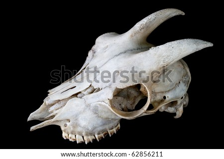 Goat skull / Lateral view of a goat skull with horns