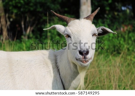 Goat smile and goat milk and goat and farm #587149295