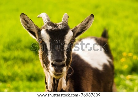goat standing on summer pasture with yellow flowers and green grass