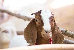 Goat Tied, waiting before a county fair judging contest