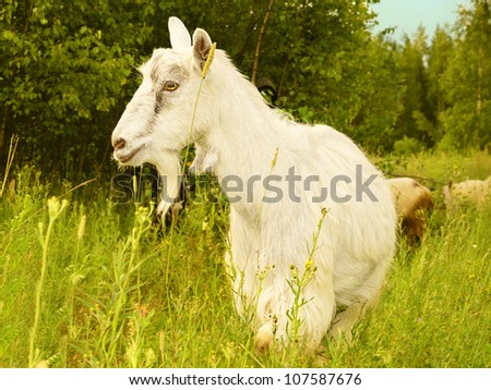 Goat White Farm Animal standing at grass green field Village