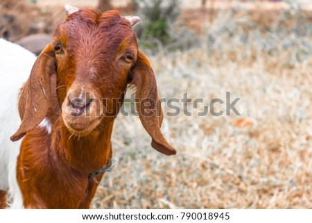 goat with short horns  brown...