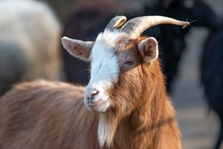 Goat (Ziege, Capra) brown and white