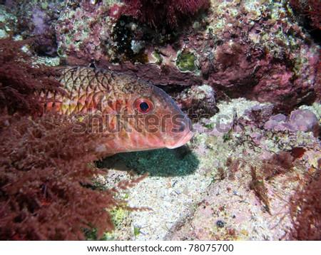 Goatfish - stock photo
