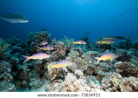 Goatfish and trevally the Red Sea.