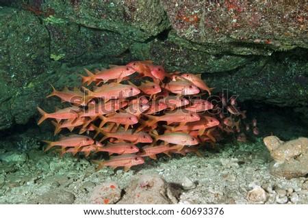 Goatfish at 5 Graves