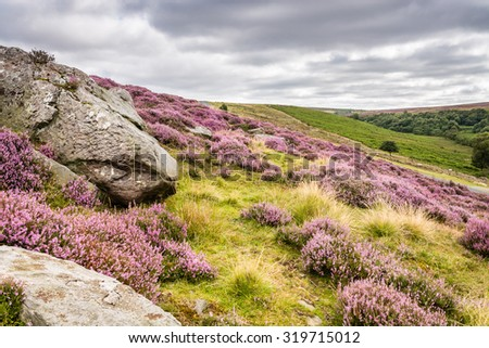 Goathland Moor Heather and Crags / Goathland Moor in the North York Moors National Park is covered in pink-purple heather during September