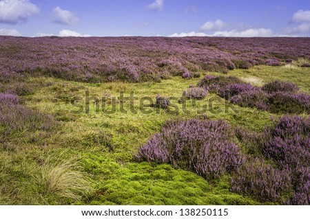 Goathland, Yorkshire, UK. View of heather in bloom on a bright summer day in the heart of the North York Moors near the village of Goathland, Yorkshire, UK.