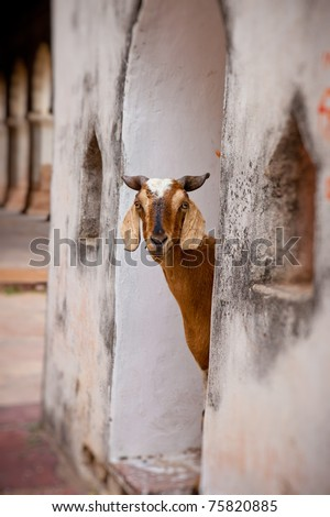 Goats and other animals roam freely in India